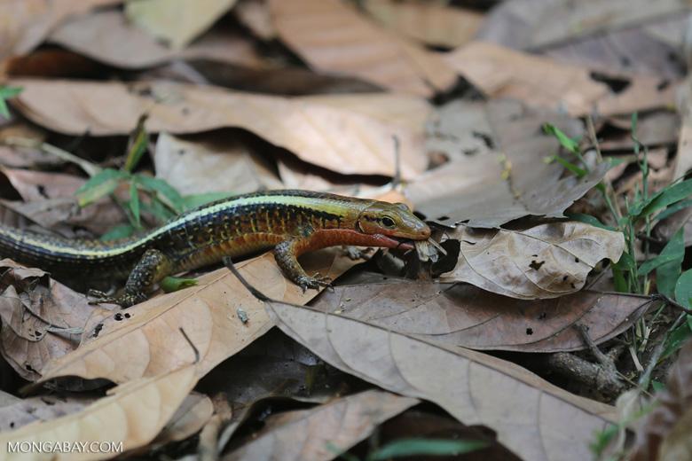 Zonosaurus laticaudatus lizard [madagascar_nosy_komba_0050]