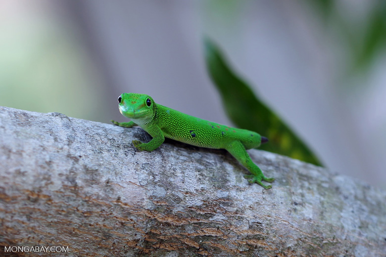 Tailess giant day gecko [madagascar_nosy_komba_0067]