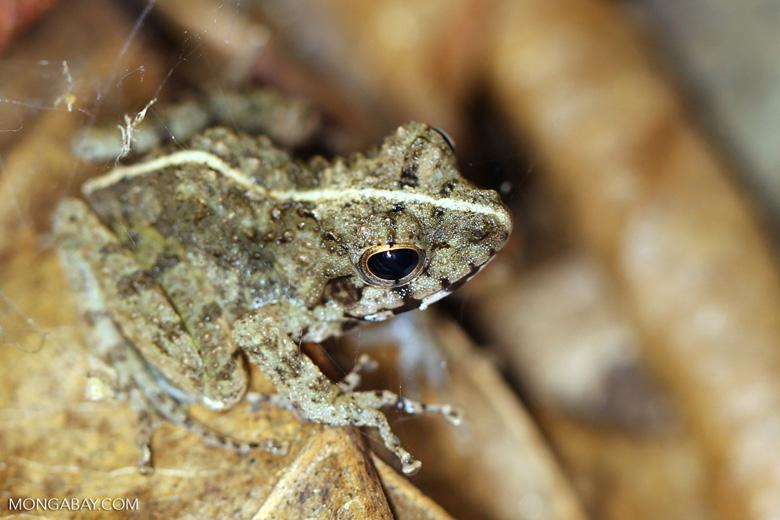 Frog [madagascar_nosy_komba_0069]