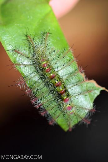 Yellow and pink caterpillar [madagascar_nosy_komba_0086]