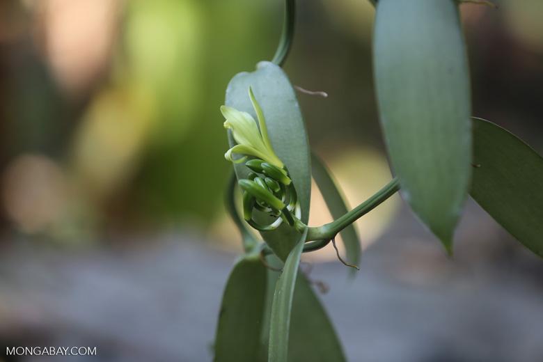 Vanilla orchid [madagascar_nosy_komba_0095]