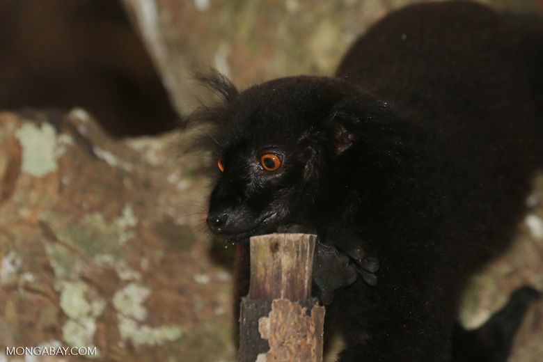 Male black lemur [madagascar_nosy_komba_0154]