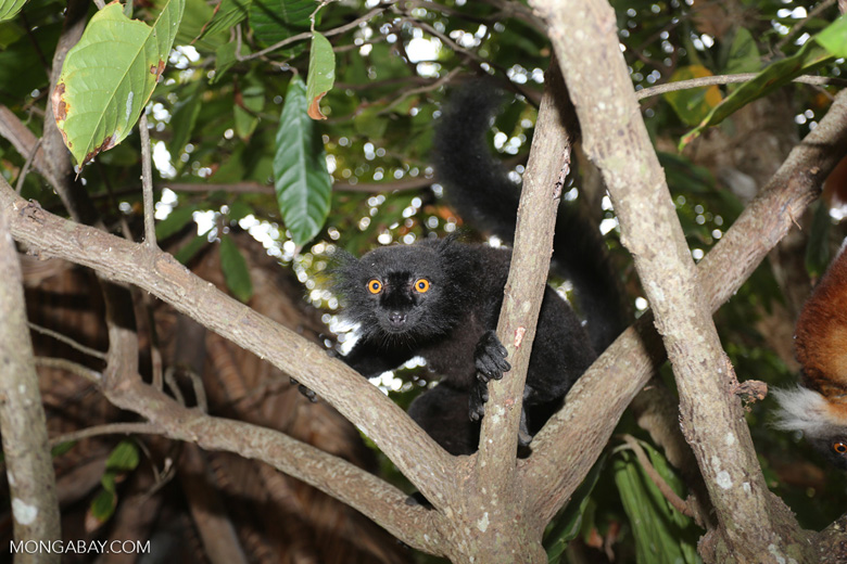 Male black lemur [madagascar_nosy_komba_0158]