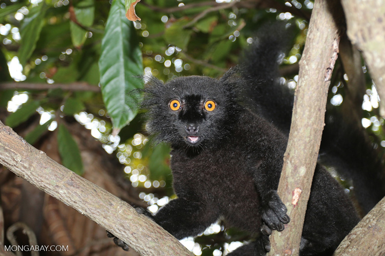 Male black lemur [madagascar_nosy_komba_0159]
