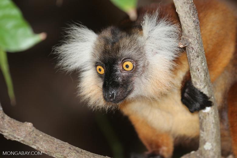 Female black lemur [madagascar_nosy_komba_0168]