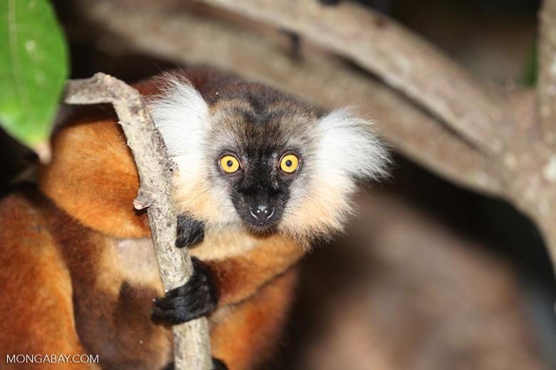Female black lemur [madagascar_nosy_komba_0171]