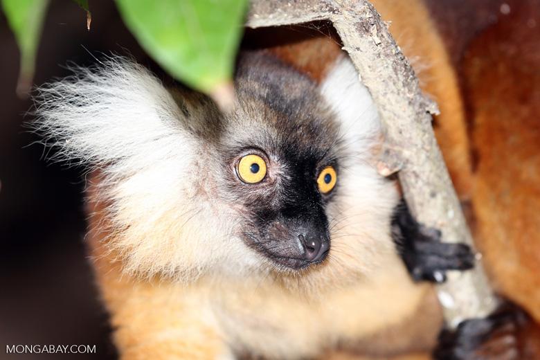 Female black lemur [madagascar_nosy_komba_0176]