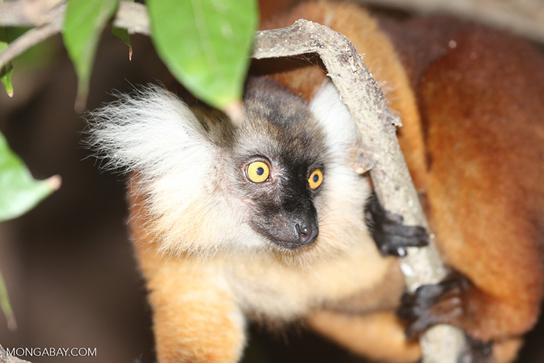 Female black lemur [madagascar_nosy_komba_0177]