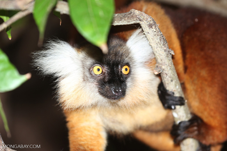 Female black lemur [madagascar_nosy_komba_0179]