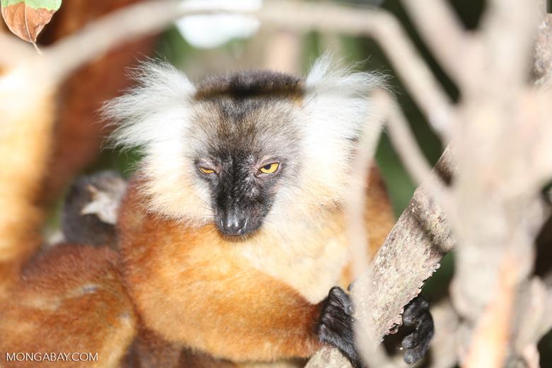 Female black lemur [madagascar_nosy_komba_0181]