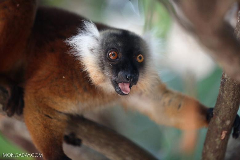 Female black lemur [madagascar_nosy_komba_0188]
