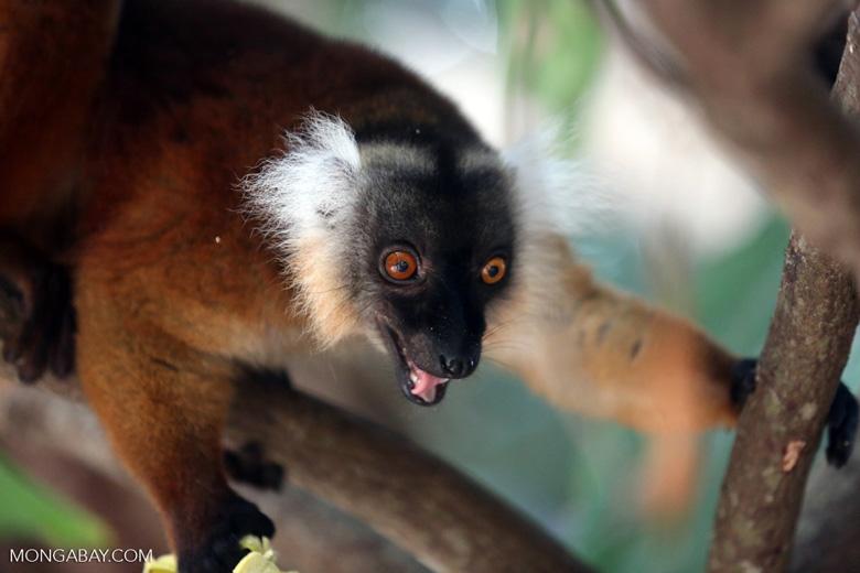 Female black lemur [madagascar_nosy_komba_0192]
