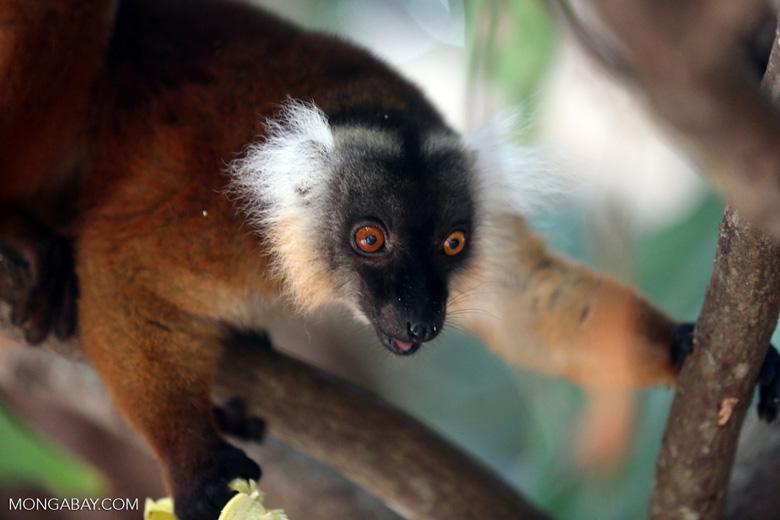 Female black lemur [madagascar_nosy_komba_0193]