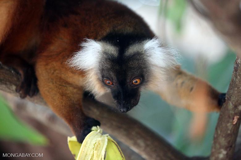 Female black lemur [madagascar_nosy_komba_0194]