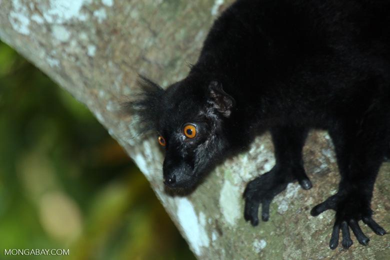 Male black lemur [madagascar_nosy_komba_0199]