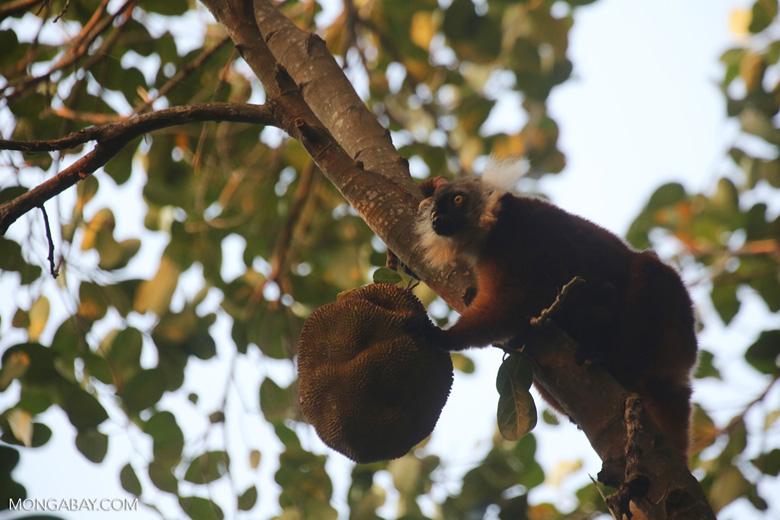 Female black lemur [madagascar_nosy_komba_0215]