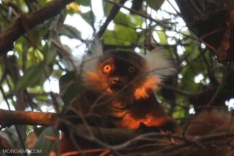 Female black lemur [madagascar_nosy_komba_0222]