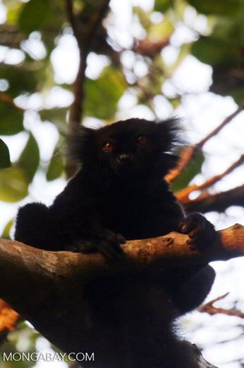 Male black lemur [madagascar_nosy_komba_0226]