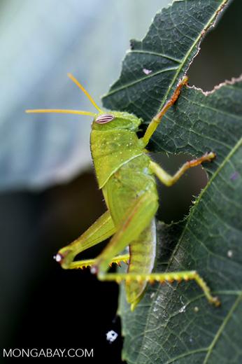 Green grasshopper [madagascar_nosy_komba_0238]