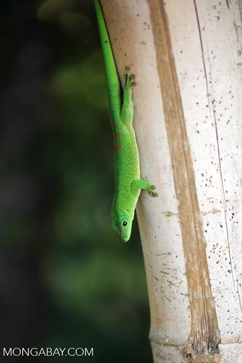Madagascar giant day gecko (Phelsuma madagascariensis grandis) [madagascar_nosy_komba_0246]