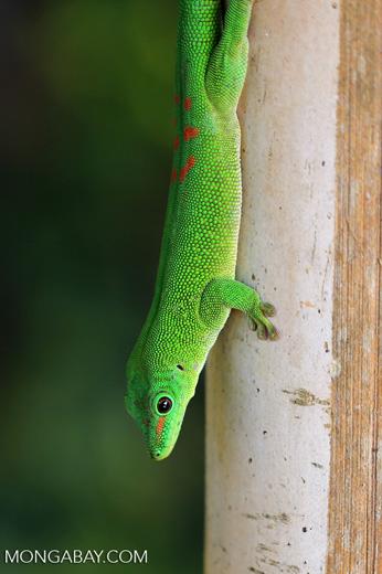 Madagascar giant day gecko (Phelsuma madagascariensis grandis) [madagascar_nosy_komba_0249]