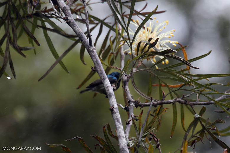 Long-billed Green Sunbird (Cinnyris notatus)