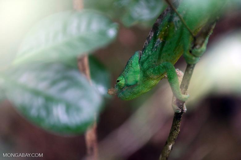 Parson's chameleon [madagascar_perinet_0038]