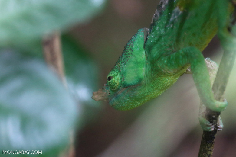 Parson's chameleon [madagascar_perinet_0040]