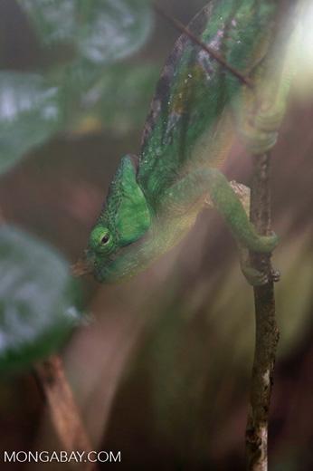 Parson's chameleon [madagascar_perinet_0042]
