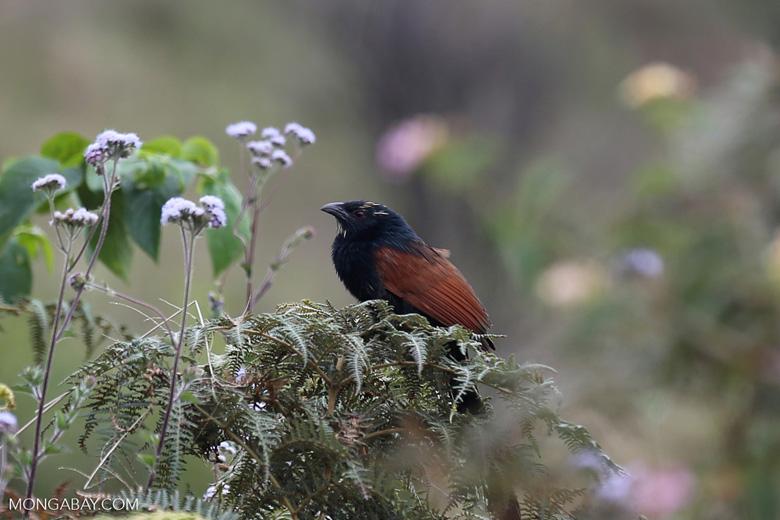 Malagasy Coucal (Centropus toulou) [madagascar_perinet_0059]