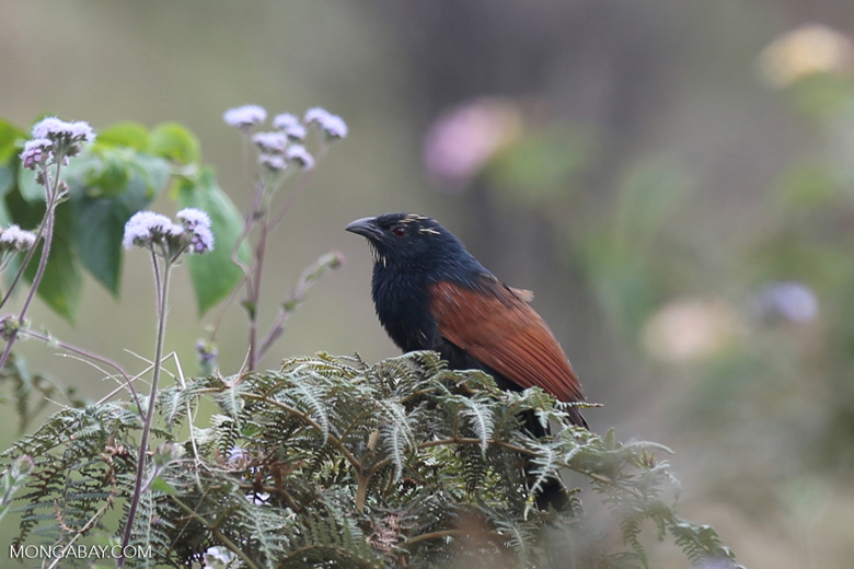 Madagascar Coucal