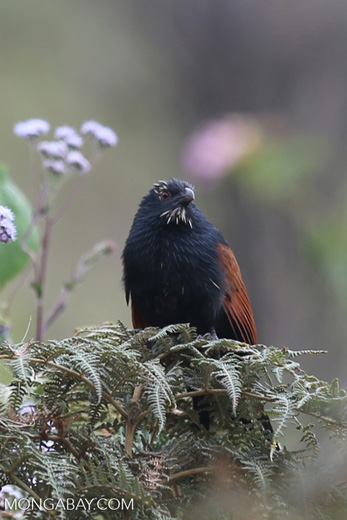 Malagasy Coucal (Centropus toulou) [madagascar_perinet_0063]