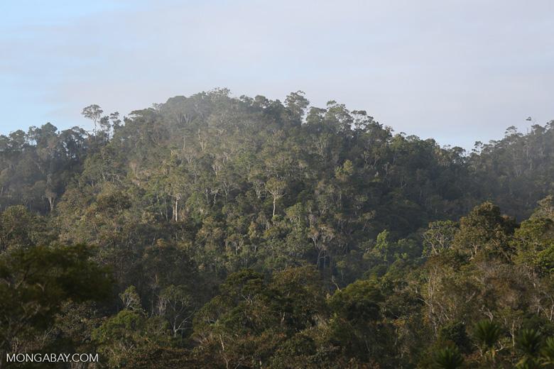 Rainforest of Andasibe-Mantadia National Park in Madagascar [madagascar_perinet_0082]