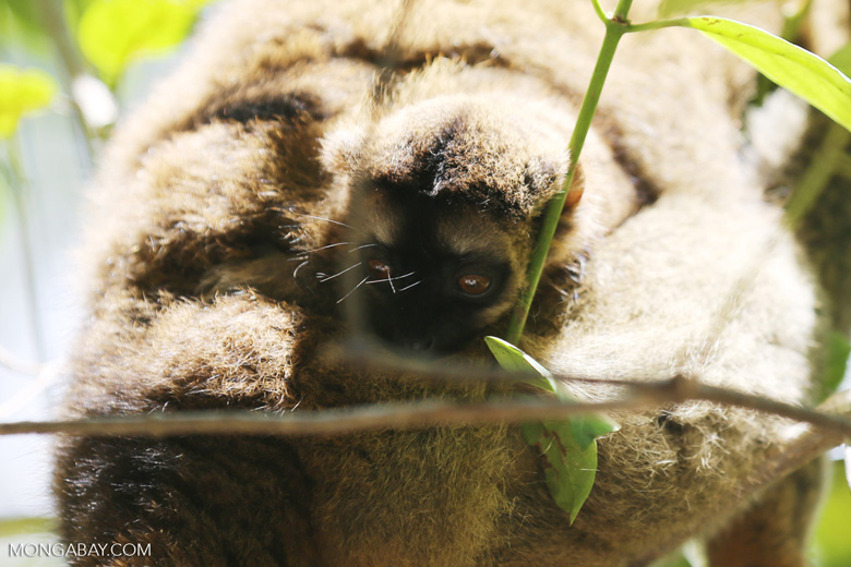 Baby common brown lemur (Eulemur fulvus)