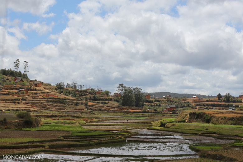 Rice in the High Plateau of Madagascar