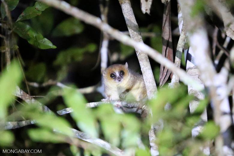Goodman's mouse lemur (Microcebus lehilahytsara) [madagascar_perinet_0109]