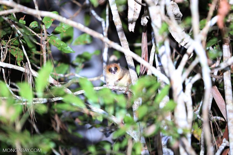 Goodman's mouse lemur (Microcebus lehilahytsara) [madagascar_perinet_0110]