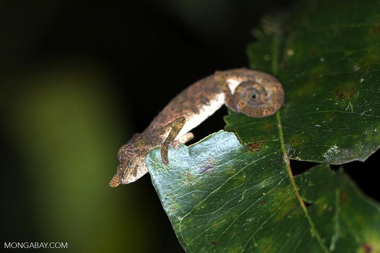 Nose-horned Chameleon (Calumma nasutum) [madagascar_perinet_0128]
