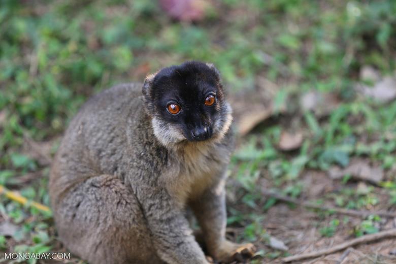 Common brown lemur (Eulemur fulvus) [madagascar_perinet_0144]