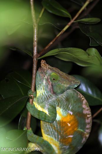 Parson's chameleon [madagascar_perinet_0165]