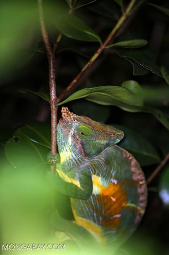 Parson's chameleon [madagascar_perinet_0167]