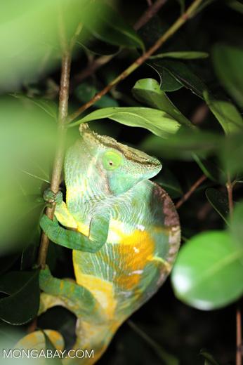 Parson's chameleon [madagascar_perinet_0170]