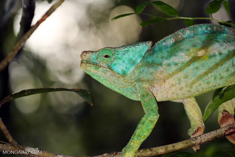 Parson's chameleon [madagascar_perinet_0198]