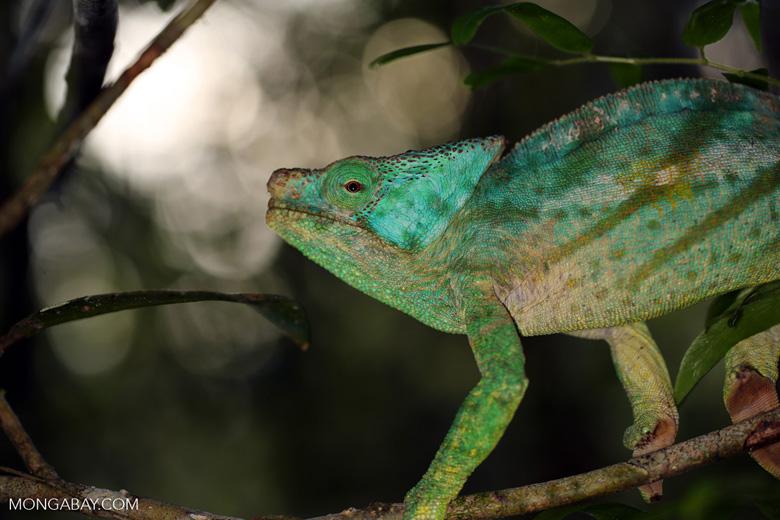 Parson's chameleon [madagascar_perinet_0199]