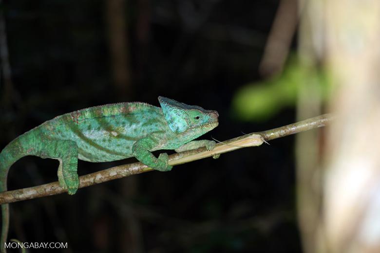 Parson's chameleon [madagascar_perinet_0209]