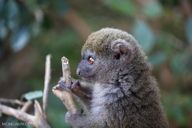 Eastern lesser bamboo lemur (Hapalemur griseus) [madagascar_perinet_0211]