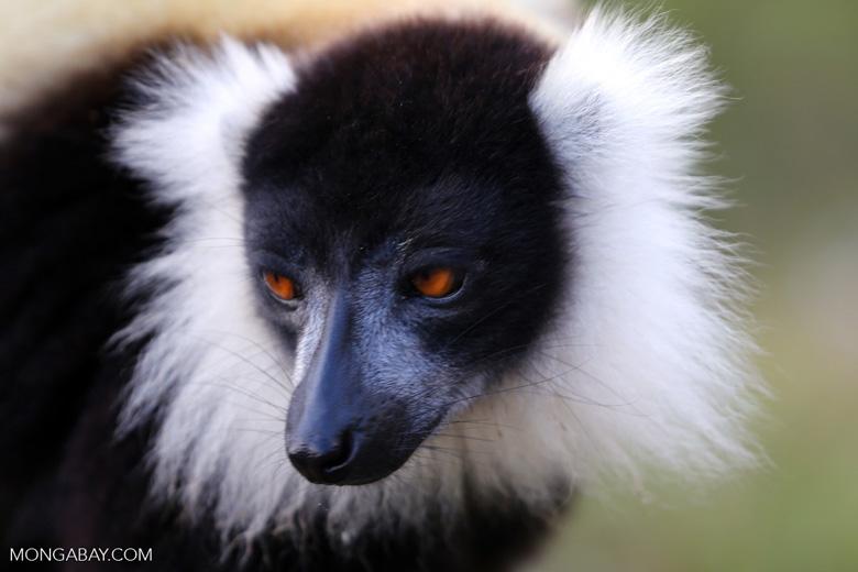 Black-and-white ruffed lemur (Varecia variegata) [madagascar_perinet_0213]