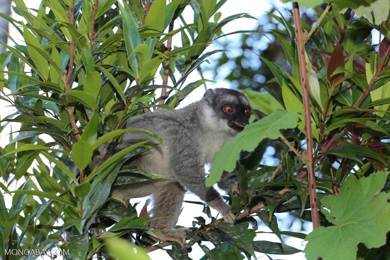 Common brown lemur (Eulemur fulvus) [madagascar_perinet_0215]