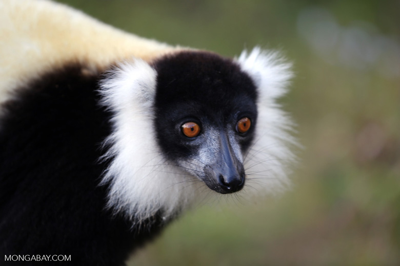 Black-and-white ruffed lemur (Varecia variegata) [madagascar_perinet_0219]