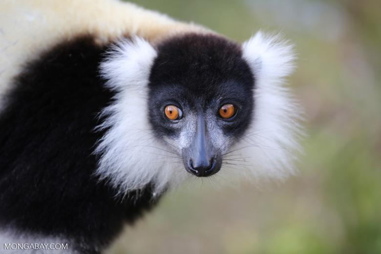 Black-and-white ruffed lemur (Varecia variegata) [madagascar_perinet_0223]